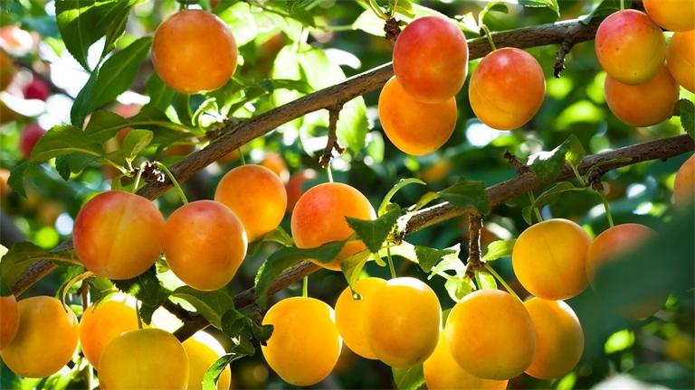 L'aide à la plantation d'arbres fruitiers renouvelée en 2019