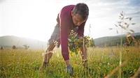 Récolte en demi-teinte pour l'arnica